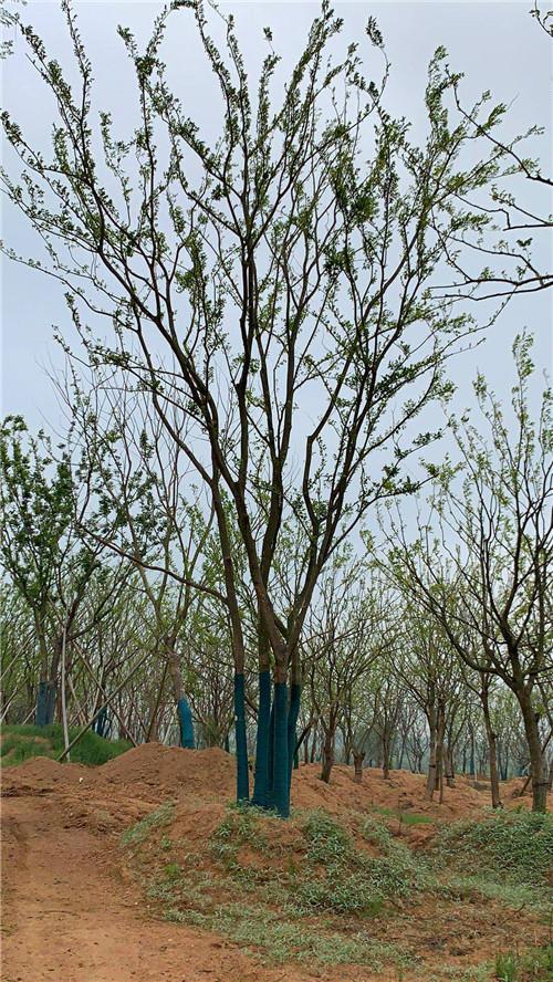 丛生朴树价格