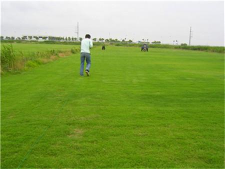 滁州百慕大草坪