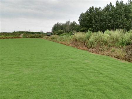 滁州草坪种植基地