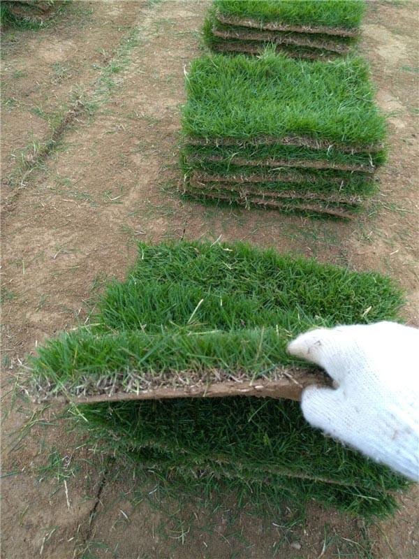 基地直销滁州马尼拉草坪