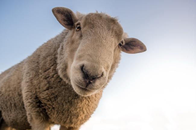 可爱绵羊头部特写图片