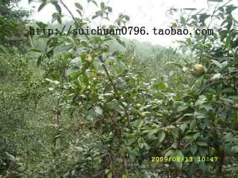 茶油|茶籽树_纯茶油基地