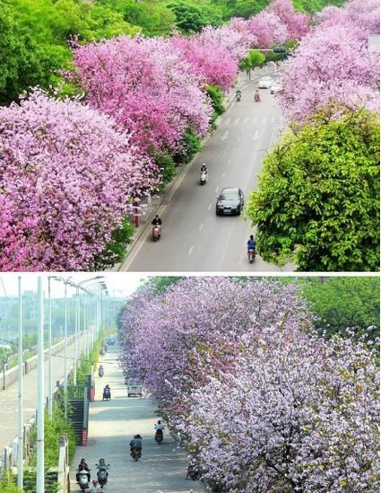 柳州,紫荆花满五月天