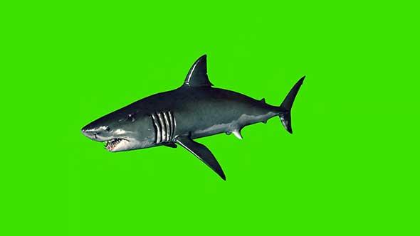 鲨鱼绿幕抠像素材