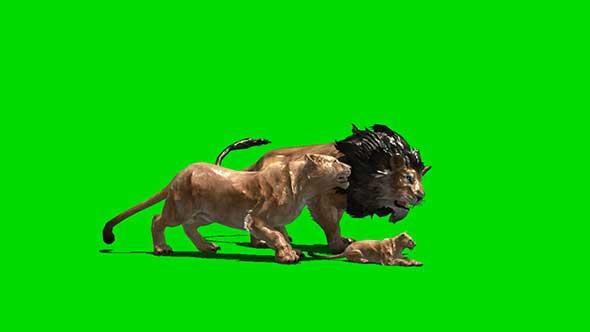 狮子绿幕抠像素材